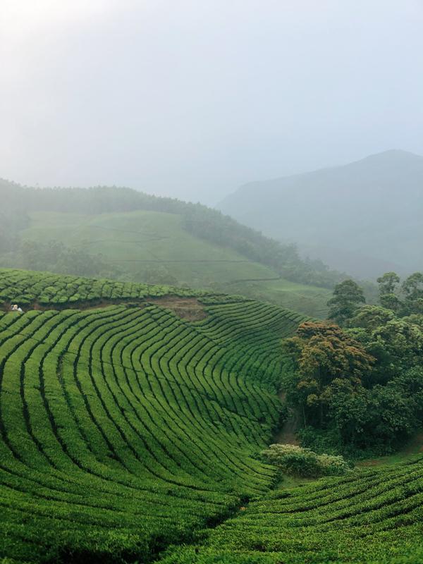 9-tea_plantation_in_munnar_india.jpg